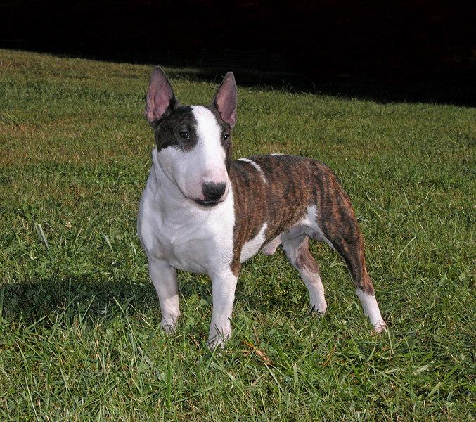 Miniature Bull Terrier nx